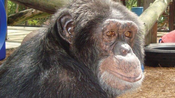 Шимпанзе Майкла Джексона по кличке Бабблз